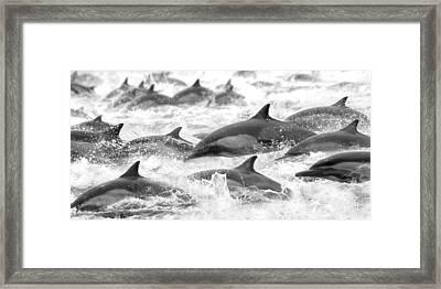 Dolphins On The Run Framed Print by Steve Munch