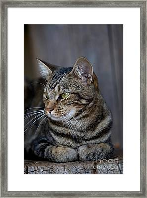 Domestic Cat In Namibia Framed Print by Gerard Lacz