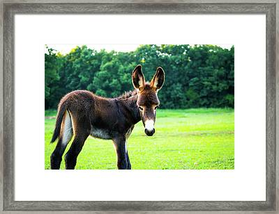 Donkey In The Pasture Framed Print by Shelby Young