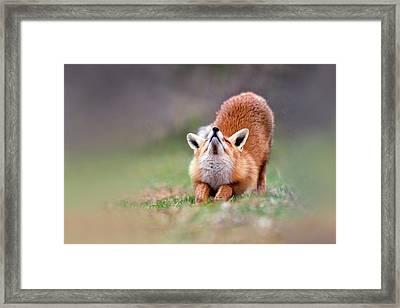 Downward Fox Framed Print by Roeselien Raimond