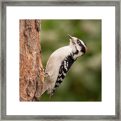 Downy Woodpecker In Minnesota Framed Print by Jim Hughes