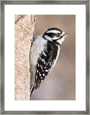 Downy Woodpecker Framed Print by Jim Hughes