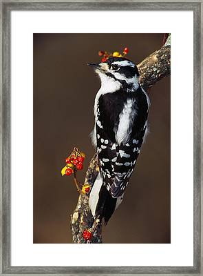 Downy Woodpecker On Tree Branch Framed Print by Panoramic Images