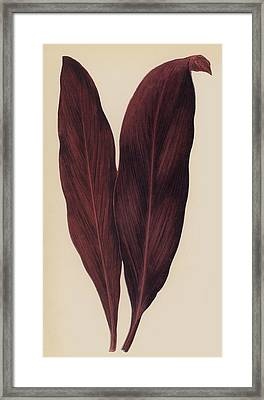 Dracaena Ferrea Framed Print by English School