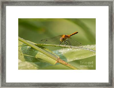 Dragon And Dew Framed Print by Donna Crider