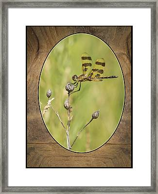 Dragon Fly On Tortoise Shell Framed Print by Thomas Young