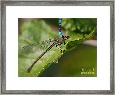 Dragonfly 13 Framed Print by Vivian Martin