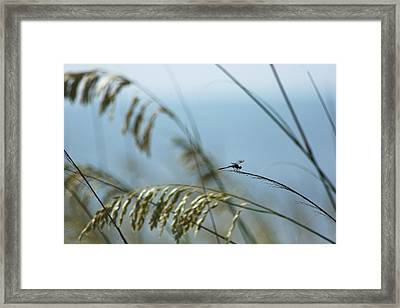 Dragonfly On Sea Oats Framed Print by Robert  Suits Jr