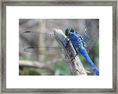 Dragonfly Wing Detail Framed Print by Carol Groenen