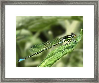 Dragonfly1 Framed Print by Svetlana Sewell