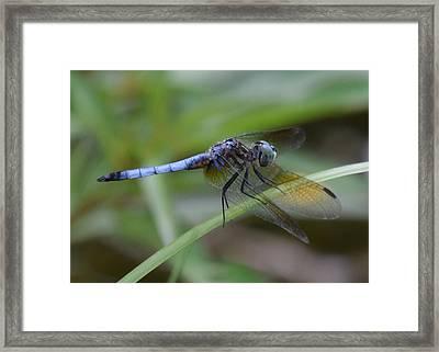 Dragonfly5 Framed Print by Bruce Miller