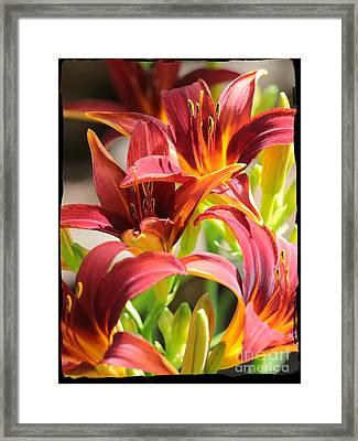 Dramatic Daylily Framed Print by Carol Groenen