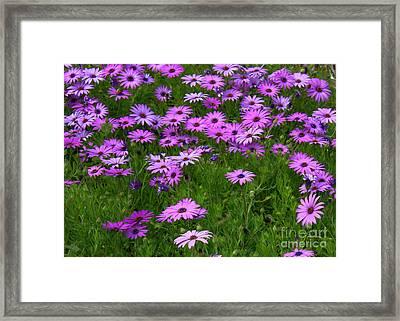 Dreaming Of Purple Daisies  Framed Print by Carol Groenen