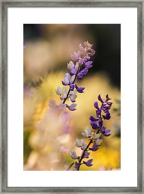 Dreamy Lupine Bloom In Spring Framed Print by Vishwanath Bhat
