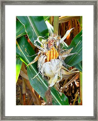 Dried Corn 1 Framed Print by Lanjee Chee
