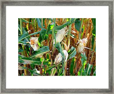 Dried Corn 4 Framed Print by Lanjee Chee