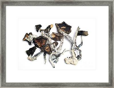 Dried Psilocybe Cubensis Framed Print by Ford McCann