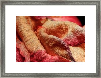Dried Rose Petals II Framed Print by Tom Mc Nemar