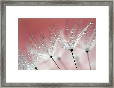 Drops On Dandelion Framed Print by Kees Smans