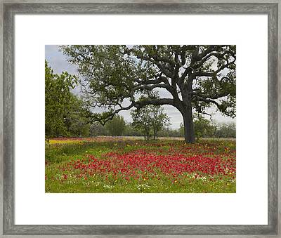 Drummonds Phlox Meadow Near Leming Texas Framed Print by Tim Fitzharris