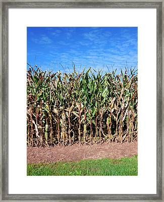 Dry Corn Field 5 Framed Print by Lanjee Chee