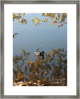 Duck On Golden Pond Framed Print by Carol Groenen