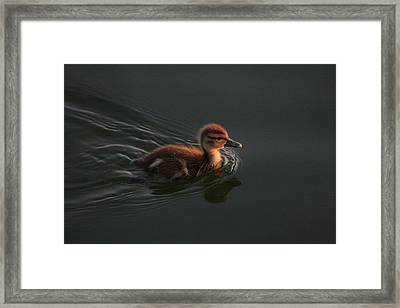 Duckling At Sunrise Framed Print by Christopher Kirby