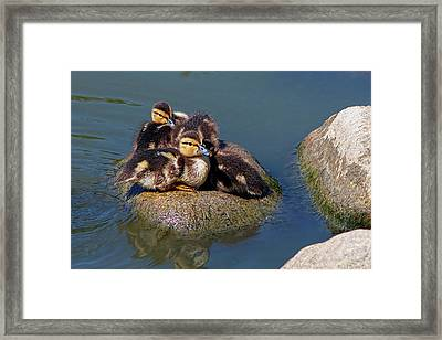 Ducklings On A Rock Framed Print by Sharon Talson