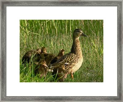 Ducks Framed Print by Jaroslaw Grudzinski