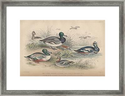 Ducks Framed Print by Oliver Goldsmith