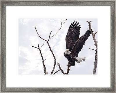 Eagle Framed Print by Everet Regal