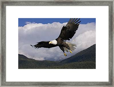 Eagle Flying In Sunlight Framed Print by John Hyde - Printscapes