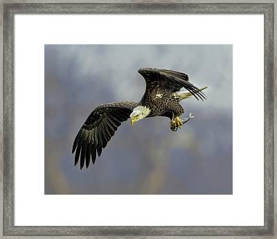 Eagle Power Dive Framed Print by William Jobes