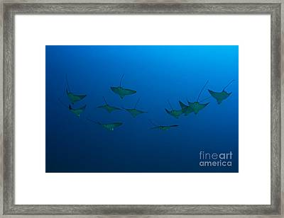 Eagle Rays In Ocean Framed Print by Dave Fleetham - Printscapes