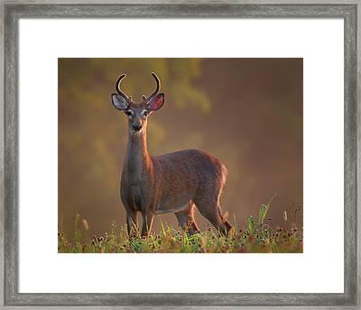Early Buck Framed Print by Bill Wakeley