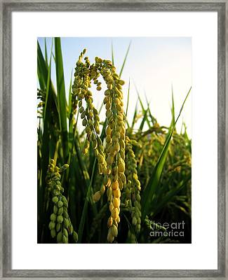 Ears Of Rice Framed Print by Yali Shi