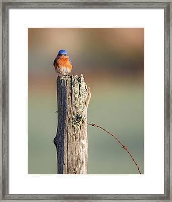 Eastern Bluebird Portrait Framed Print by Bill Wakeley