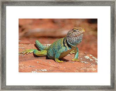 Eastern Collared Lizard Framed Print by Laura Brightwood