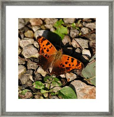 Eastern Comma Butterfly Framed Print by Chris Flees