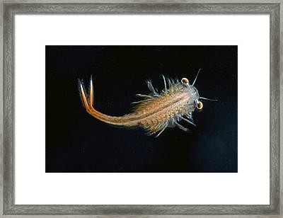Eastern Fairy Shrimp Easterbrook Forest Framed Print by Piotr Naskrecki