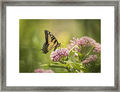 Eastern Tiger Swallowtail 1-2015 Framed Print by Thomas Young