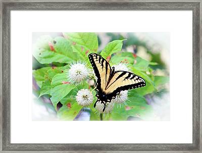 Eastern Tiger Swallowtail Framed Print by Cynthia Guinn