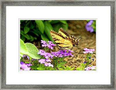 Eastern Yellow Tiger Swallowtail Framed Print by Geraldine Scull