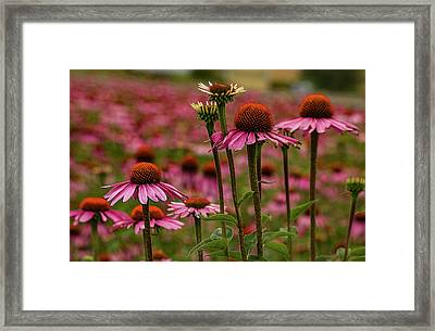 Echinacea Front And Center Framed Print by Jean Noren