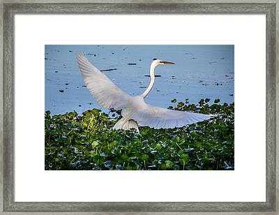 Egret With Wings Spread Framed Print by Randy Bayne