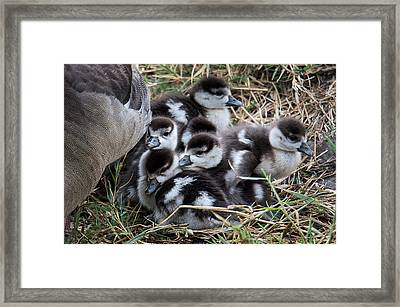 Egyptian Goose Alopochen Aegyptiacus Framed Print by Panoramic Images