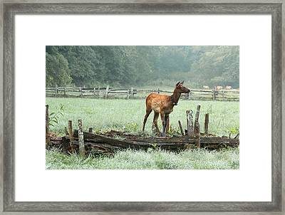 Elk Calf In The Mist In The Great Smoky Mountains National Park Framed Print by Carol R Montoya