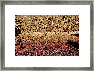 Elk Harem Framed Print by Al Bourassa