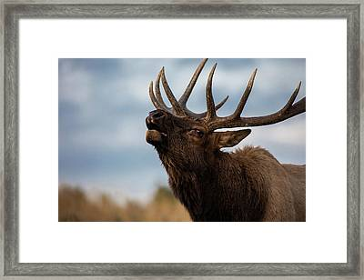 Elk's Screem Framed Print by Edgars Erglis