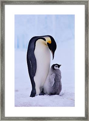 Emperor Penguin Adult With Chick Framed Print by Kevin Schafer